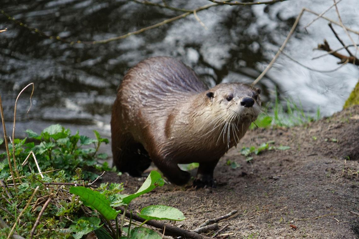 Seeotter am Schaalsee © Robert Günther / WWF