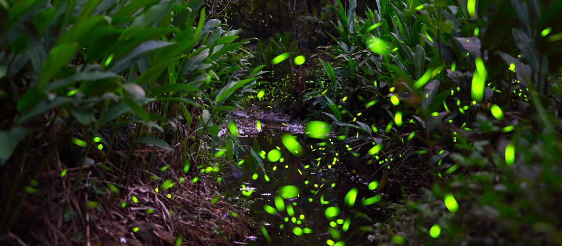 Leuchtende Glühwürmchen © iStock/getty images