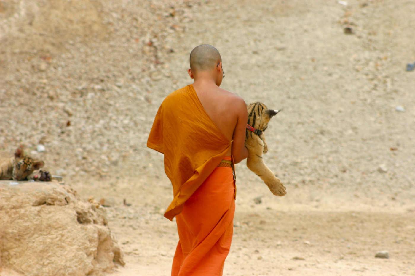 Junger Mönch trägt Tigerbaby: Der Tigertempel Wat Pa Luang Ta Bua Yannasampanno in Ratchaburi in Thailand ist tief in den illegalen Wildtierhandel verstrickt