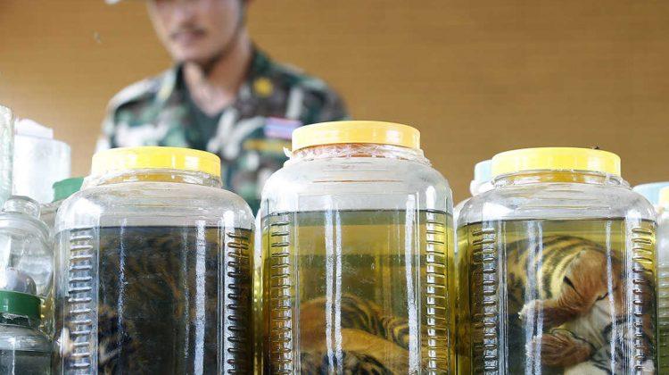 Eingelegte Tiger Babies im Tigertempel in Thailand - aus ihnen wollte wohl Tigerwein produziert werden