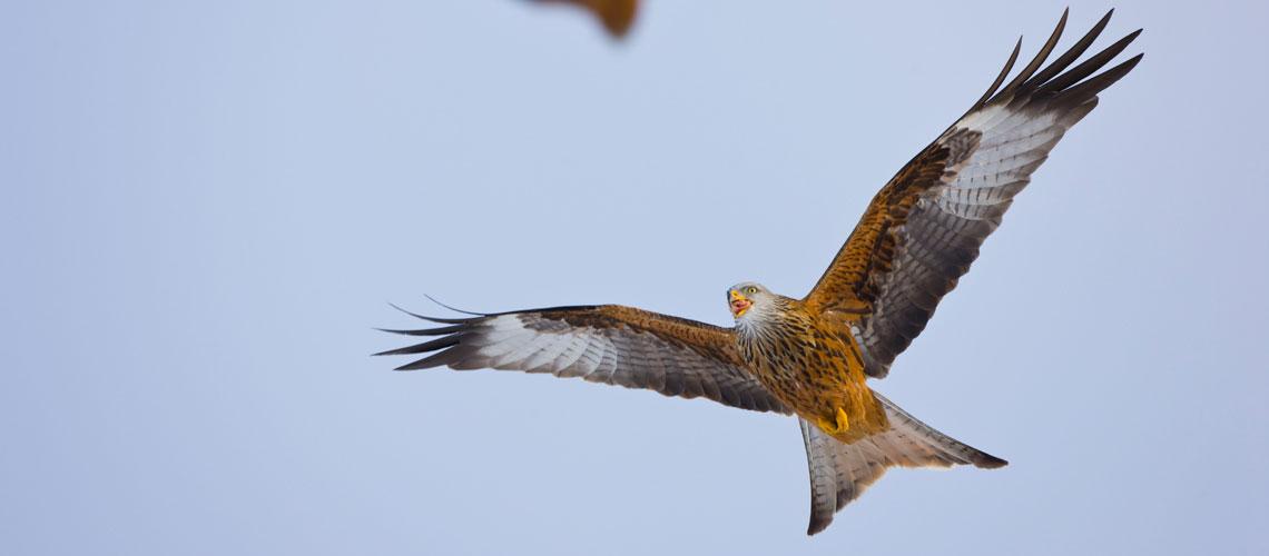 Ein Rotmilan im Flug © Wild Wonders of Europe / Juan Carlos Munoz / WWF