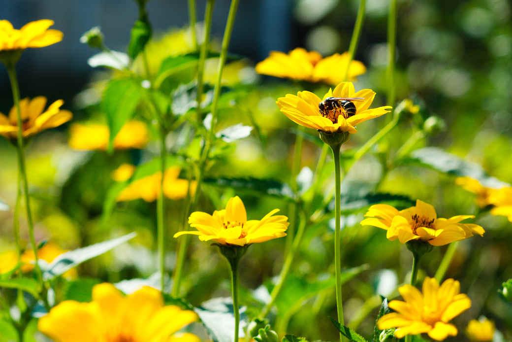 Wildbienen sind extrem nützlich für Natur und Landwirtschaft - viele Bienenarten sind vom Aussterben bedroht.