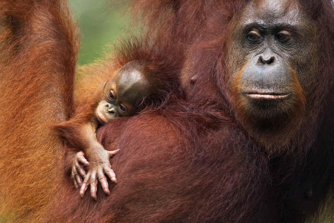 Orang-Utan auf Borneo mit Baby im Baum sitzend. Laut IUCN ist die Art starlk vom Aussterben bedroht