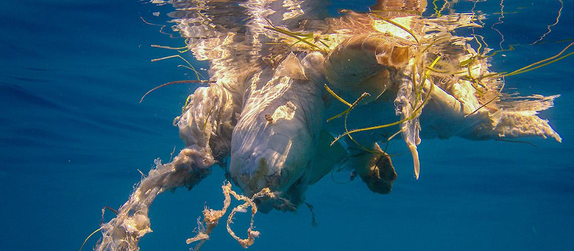Unter Wasser: Unechte Karett-Schildkröte (Caretta Caretta), gefangen in einer tödlichen Angelleine.