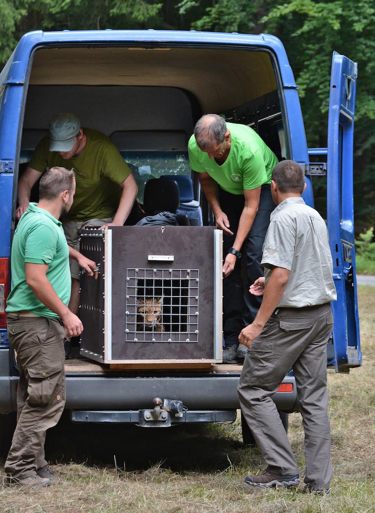 Neugierig auf die neue Heimat: Luchs wird im Pfälzerwald ausgewildert. Noch ist er in seiner Transportbox und guckt neugierig hinaus.