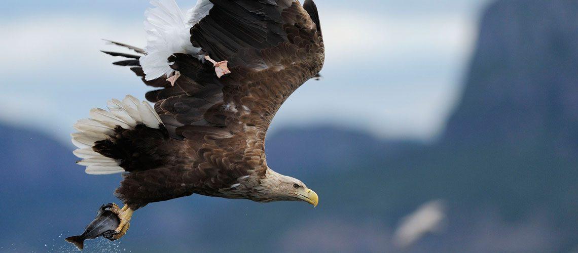 Adler mit gefangenem Fisch: Greifvögel könnten wieder ins Visier geraten