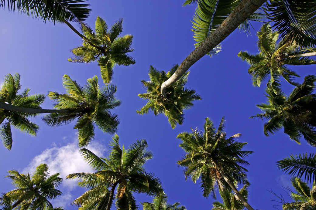 Kokospalme auf den Seychellen. Kokosöl braucht im Vergleich zu Palmöl eine deutlich größere Fläche, wie die neue WWF-Studie zeigt