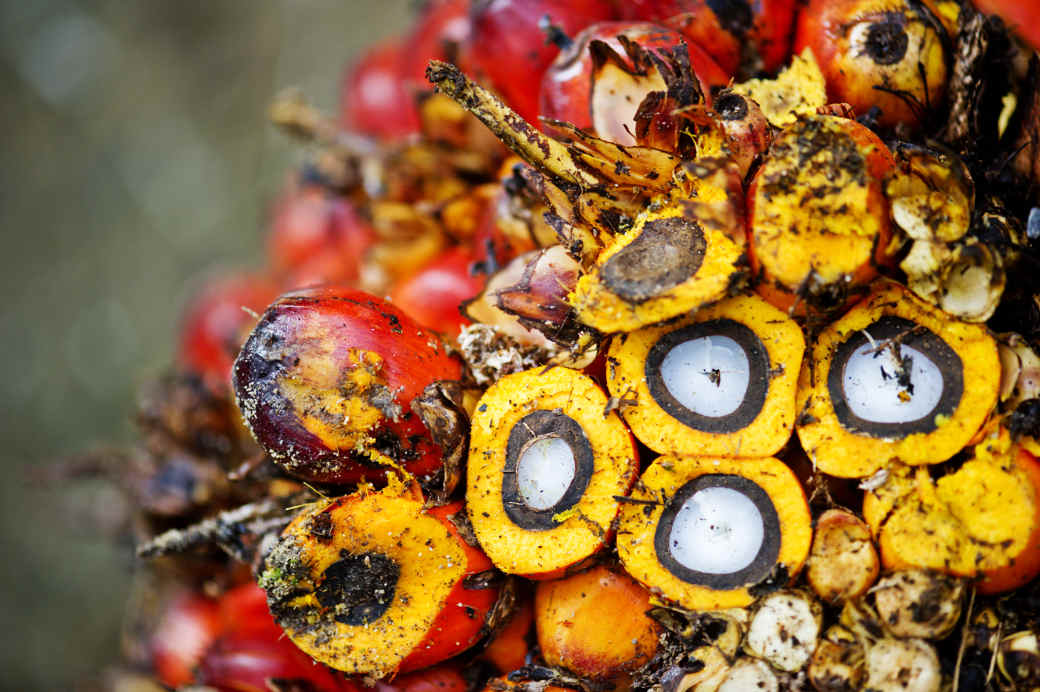 Palmöl wird aus der Ölpalme gewonnen. Die WWF-Studie zeigt: Es gibt jkeinen Ersatz für Palmöl, der die Umwelt nicht nur mehr schädigen würde.
