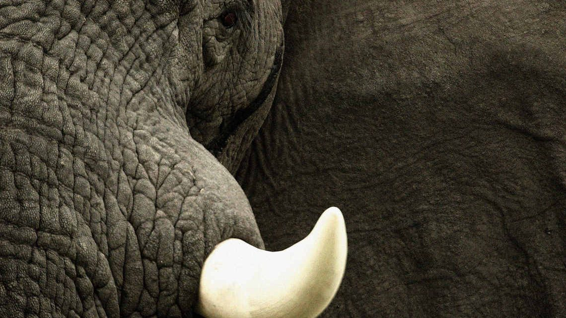 Elfenbein: Stoßzahn eines afrikanischen Elefanten