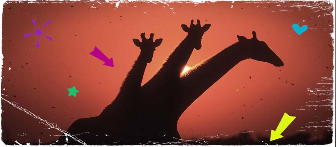 #saveselous: drei Giraffen vor Sonnenuntergang in Selous, Afrika.