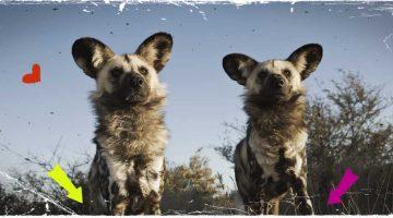 Wildhunde im Nationalpark Selous, Tansania.