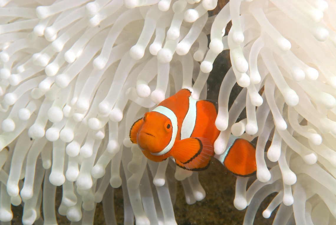Clownsfisch wie Nemo vor gebleichter Anemone.