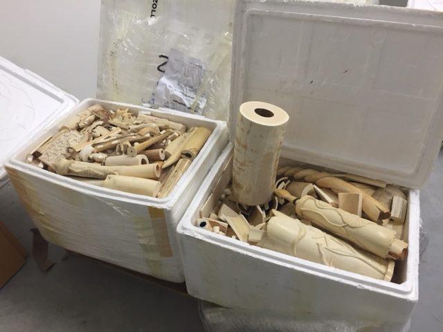 Schmuggel: Bearbeitetes und halbbearbeitetes Elfenbein vom Flughafen Berlin Schönefeld, Mai 2016