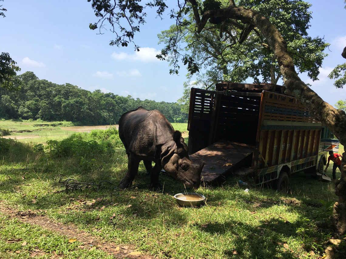 das Nashorn im Chitwan Nationalpark, Nepal