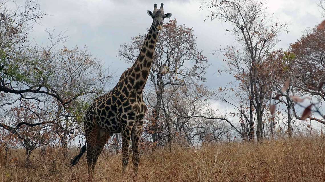 Schon bei der Ankunft begrüßen uns Giraffen! © Melanie Gömmel / WWF