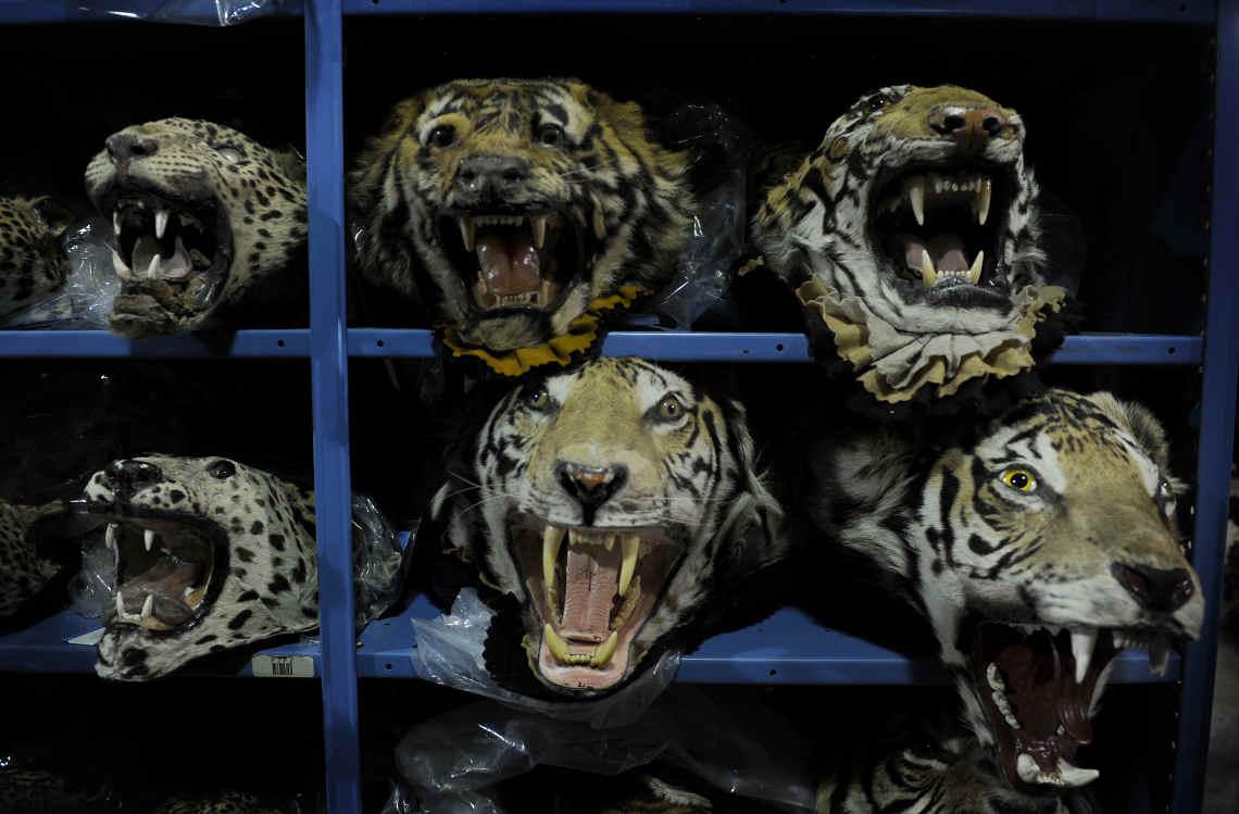 Tiger köpfe im Regal Die Regierung in Laos war aktiv am Handel mit illgalen Wildtierprodukten beteiligt
