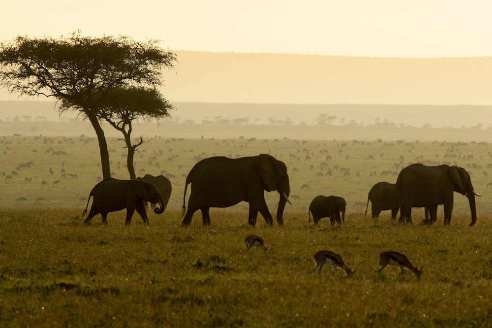 Elefantenherde in Masai Mara, Kenia