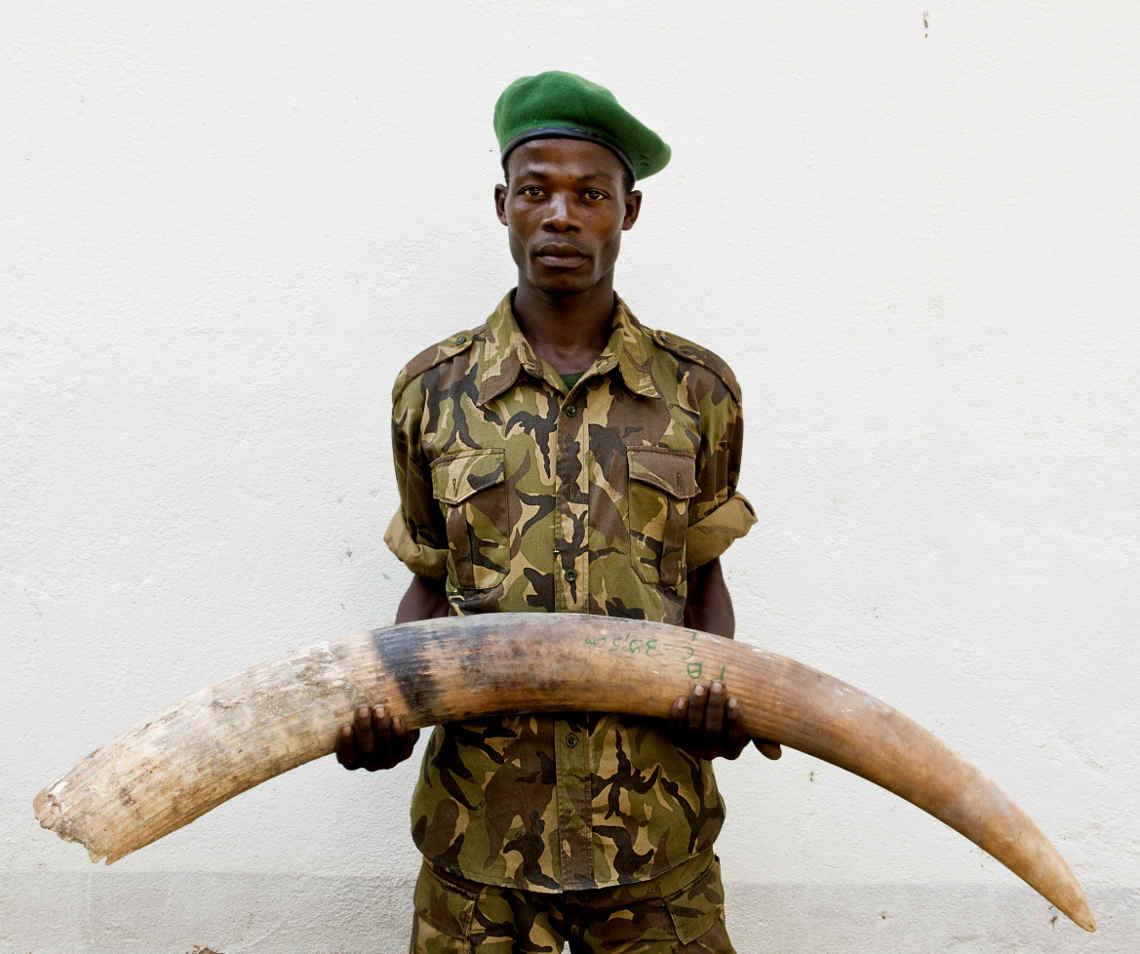 Wildereia uf Elefanten: Ranger mit beschlagnahmtem Elfenbein in dzanga-sangha