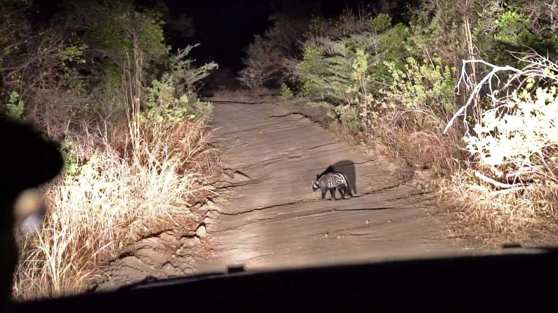 Zibetkatzen sind extrem selten © Joscha Seehausen