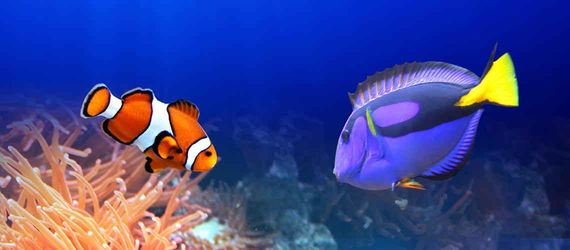 Doktorfisch und Clownsfisch wie Dorie und Nemo sind zwei Fiswche, die vom Sterben der Korallenriffe bedroht sind