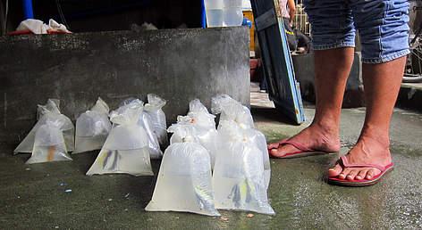 Gefange Zierfische wie Doktorfische in Plastiktüten erwarten den Abtransport, um in Aquarien zu enden.