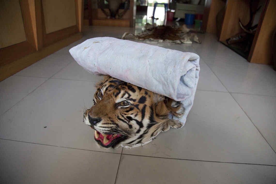 Tigerkopf als Raumschmuck. Die Regierung in Laos hat sich am Illegalen Wildtierhandel beteiligt
