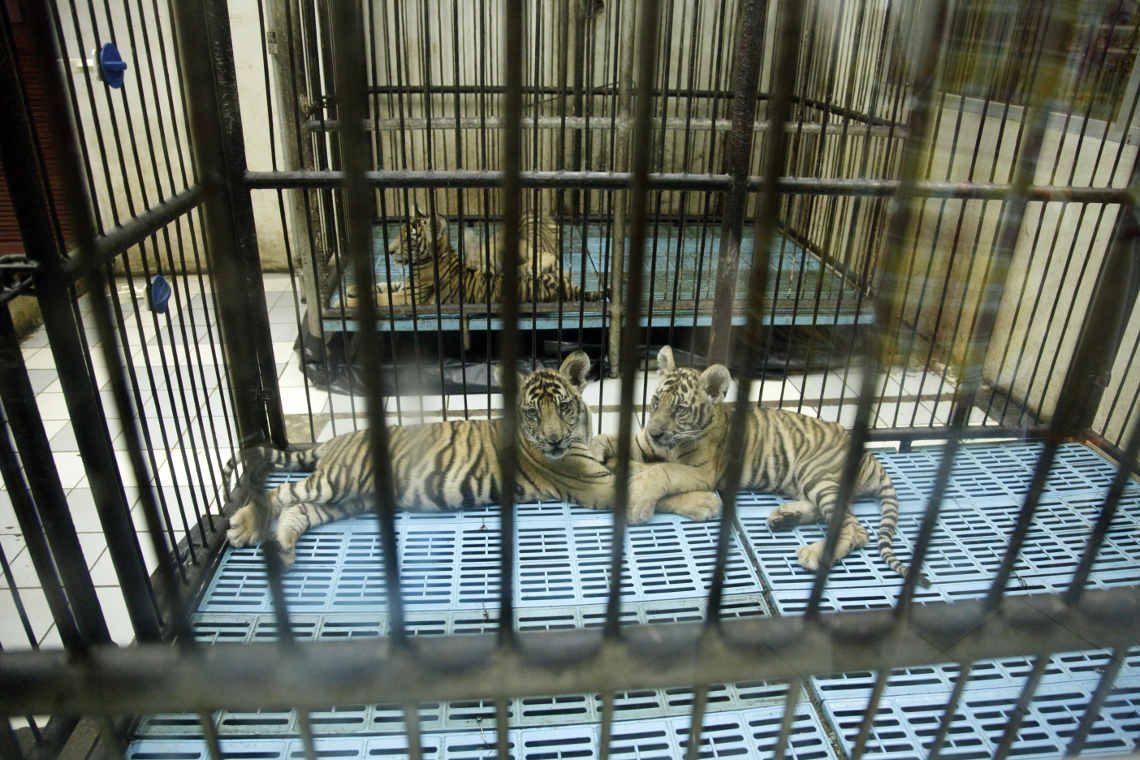 Tigerhandel: Werden hier Tiger teile produziert? Tigerfarm in Bangkok Thailand
