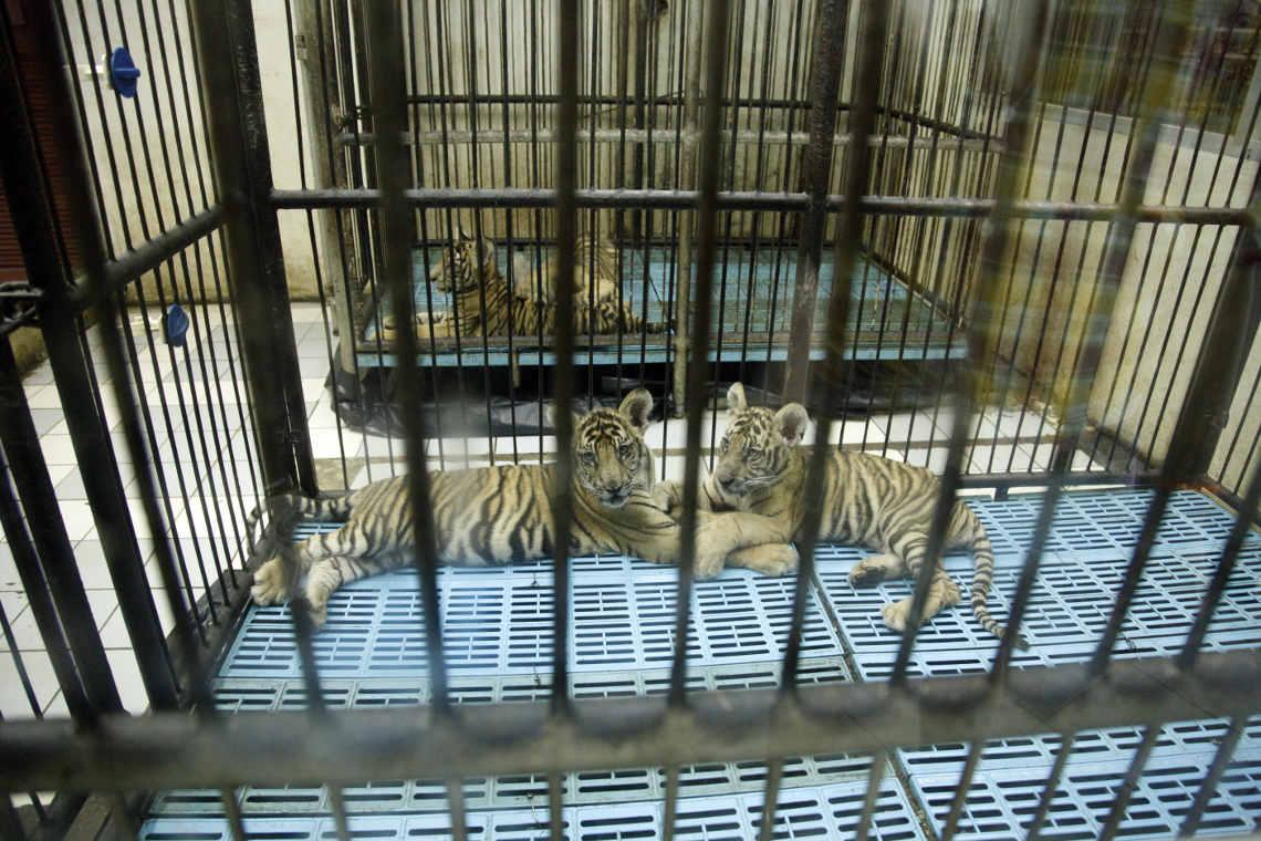 Werfden hier Tiger teile produziert? Tigerfarm in Bangkok Thailand