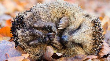 Ein Igel schläft im Herbstlaub