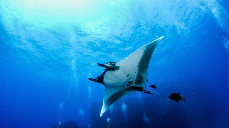 Teufelsrochen und mehrere Hai Arten sind nun durch CITES besser geschützt