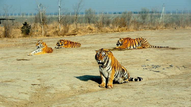 Vier Tier in einer Tigerfarm. Tigerfarmen wie diese befeuern die Nachfrage nach illegalen Tigerprodukten