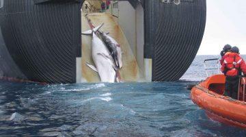 Zwei harpunierte Wale werden an Bold eines Walfängers gezogen