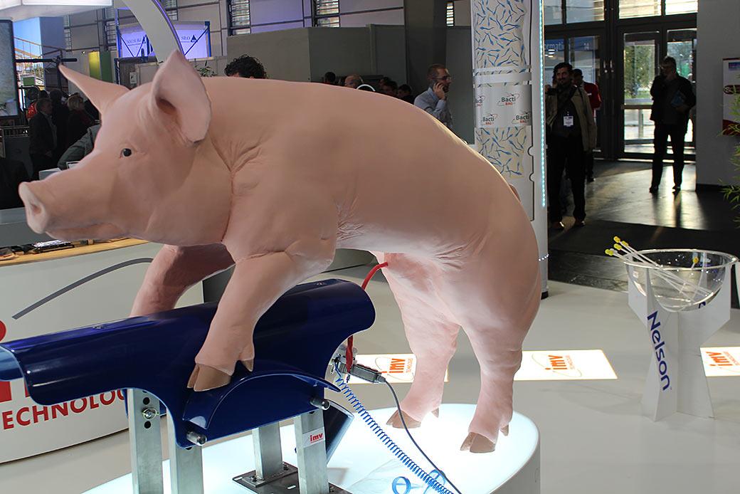 So sieht die tatsächliche Realität für Schweine aus. Künstliche Befruchtung soll beste Qualität garantieren. © Markus Wolter / WWF