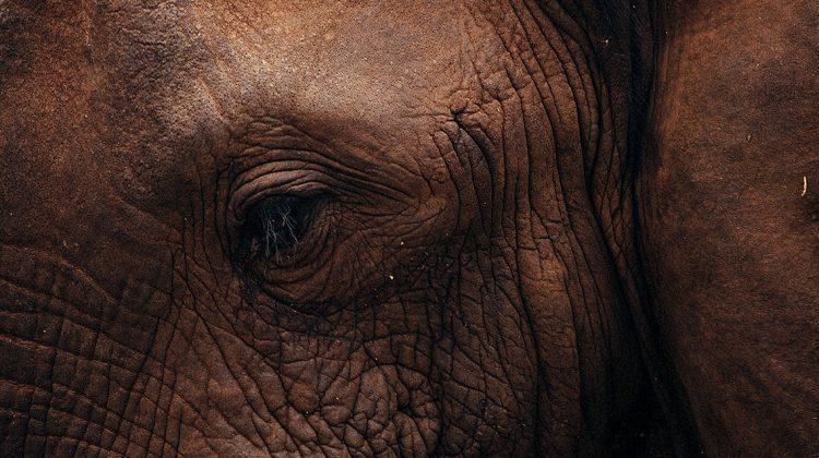Die Wilderei grassiert. In Selous in Tansania hat das die letzten 40 Jahre fast 100.000 Elefanten das Leben gekostet. Um sie zu retten, muss man auch ungewöhnliche Wege gehen.