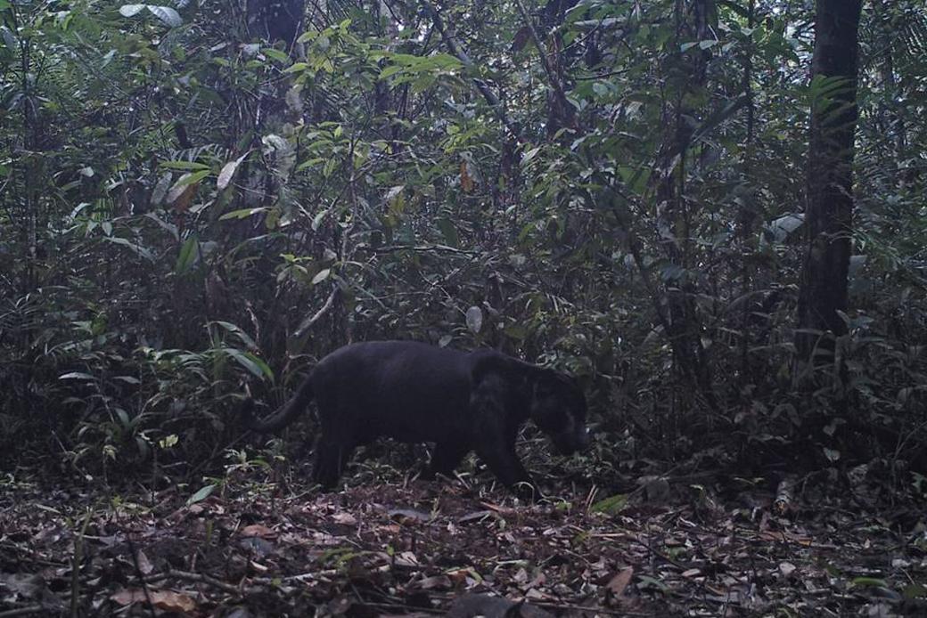 Panther in der Kamerafalle: Seltener schwarzer Jaguar im Inirida Ramsar Schutzgebiet in Kolumbien im nördlichen Amazonas