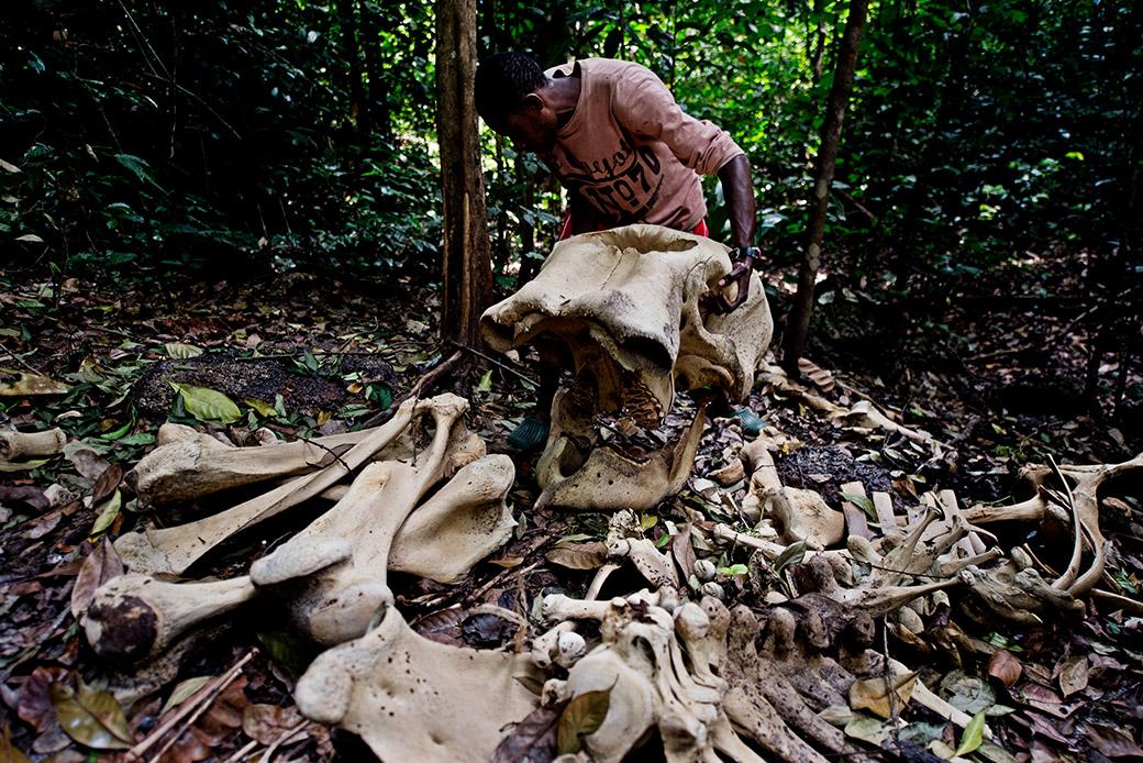 Elefantenknochen: Hinter solchen Bildern stecken internationale Netzwerke.