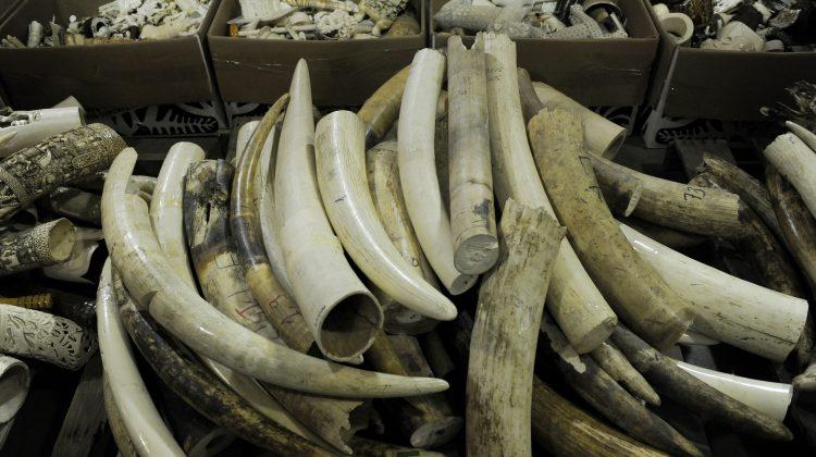 Konfisziertes Elfenbein in Vietnam © Jamie Cotten / WWF