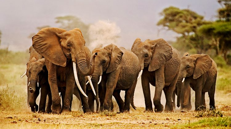 Elefantenherde im Selous Ökosystem in Tansania. Gerade hat Präsident Magufuli erklärt, härter gegen die Wilderei-Mafia vorgehen zu wollen. Damit ihr in Zukunft nicht mehr sechs Elefanten täglich zum Opfer fallen: Erfolg der WWF #SaveSelous Kampagne!