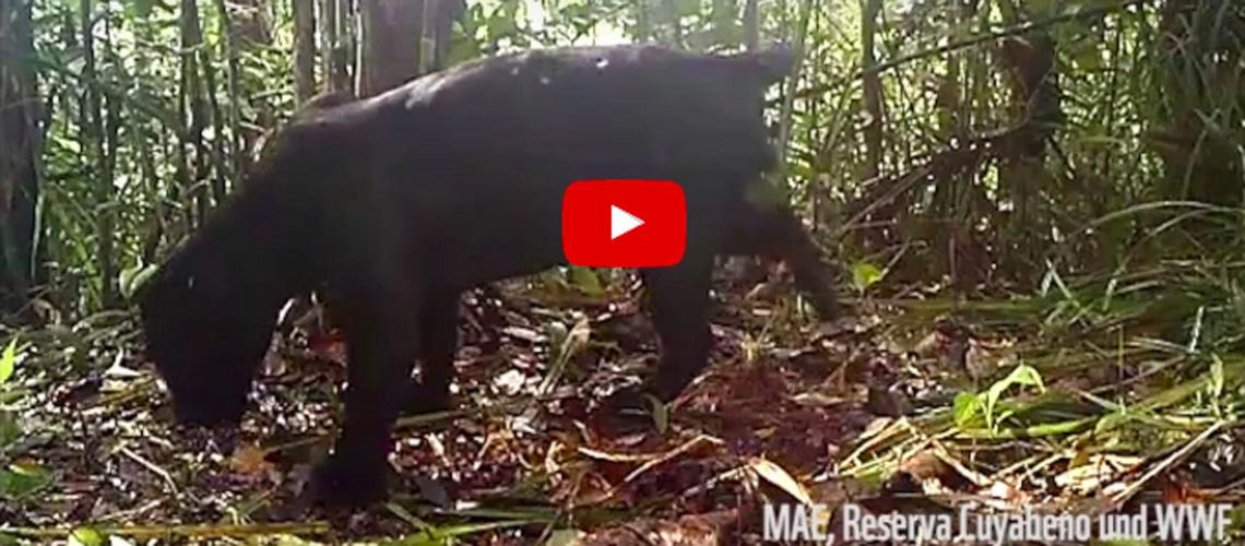 Screenshot Youtube Video: Sensation in der Kamerafalle: Gleich zwei schwarze Jaguare im nördlichen Amazonas entdeckt. Ein Erfolg für den WWF und das Biomonitoring im Nord-Amazonas-Programm NAP!