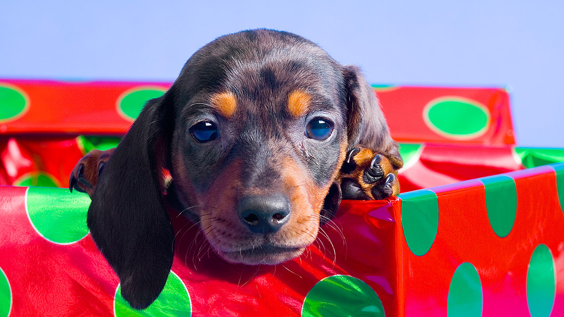 Weihnachtsgeschenk: Tiere sind keine gute Idee