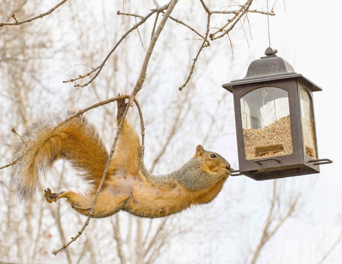 Eichhörnchen Vogelhaus