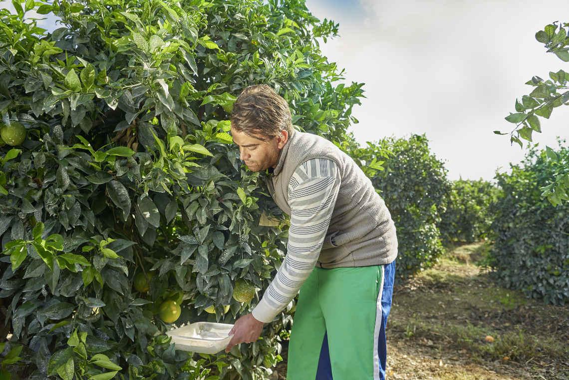 Edeka / WWF Zitronen und Orangen Projekt in Andalusien: Enrique Rosario geht systematisch durch jede einzelne Parzelle, schüttelt Zweige der Orangenbäume und notiert die Zahl der Nützlinge und Schädlinge