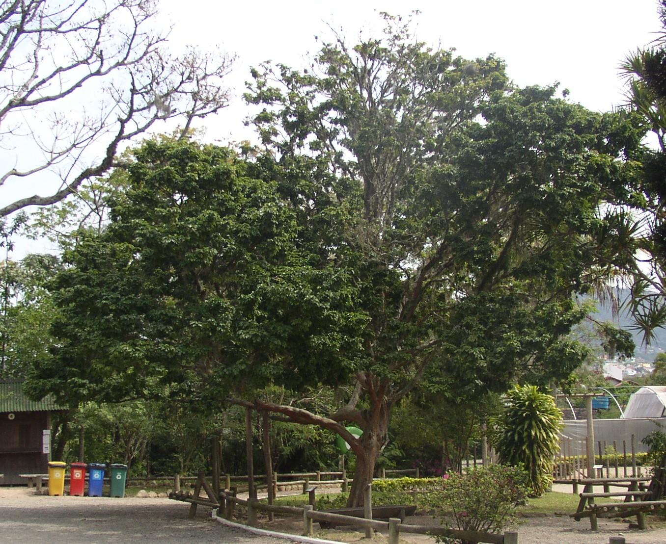 Aus der stark bedrohten Baumart Caesalpinia echinata wird Fernambuk-Holz gewonnen. Der Kolonist / CC BY 2.5 /http://bit.ly/2ifF2ug