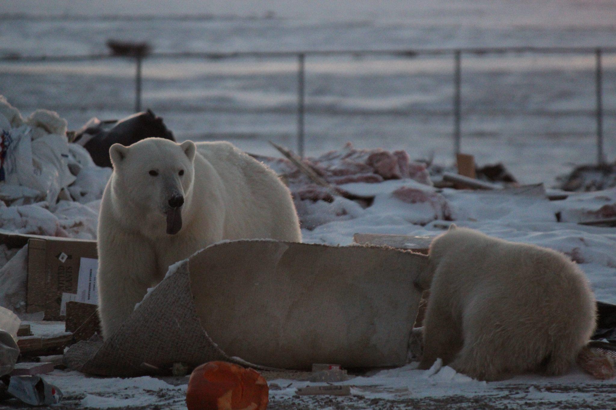 Eisbären in Chruchill, Kanada © Sybille Klenzendorf / WWF