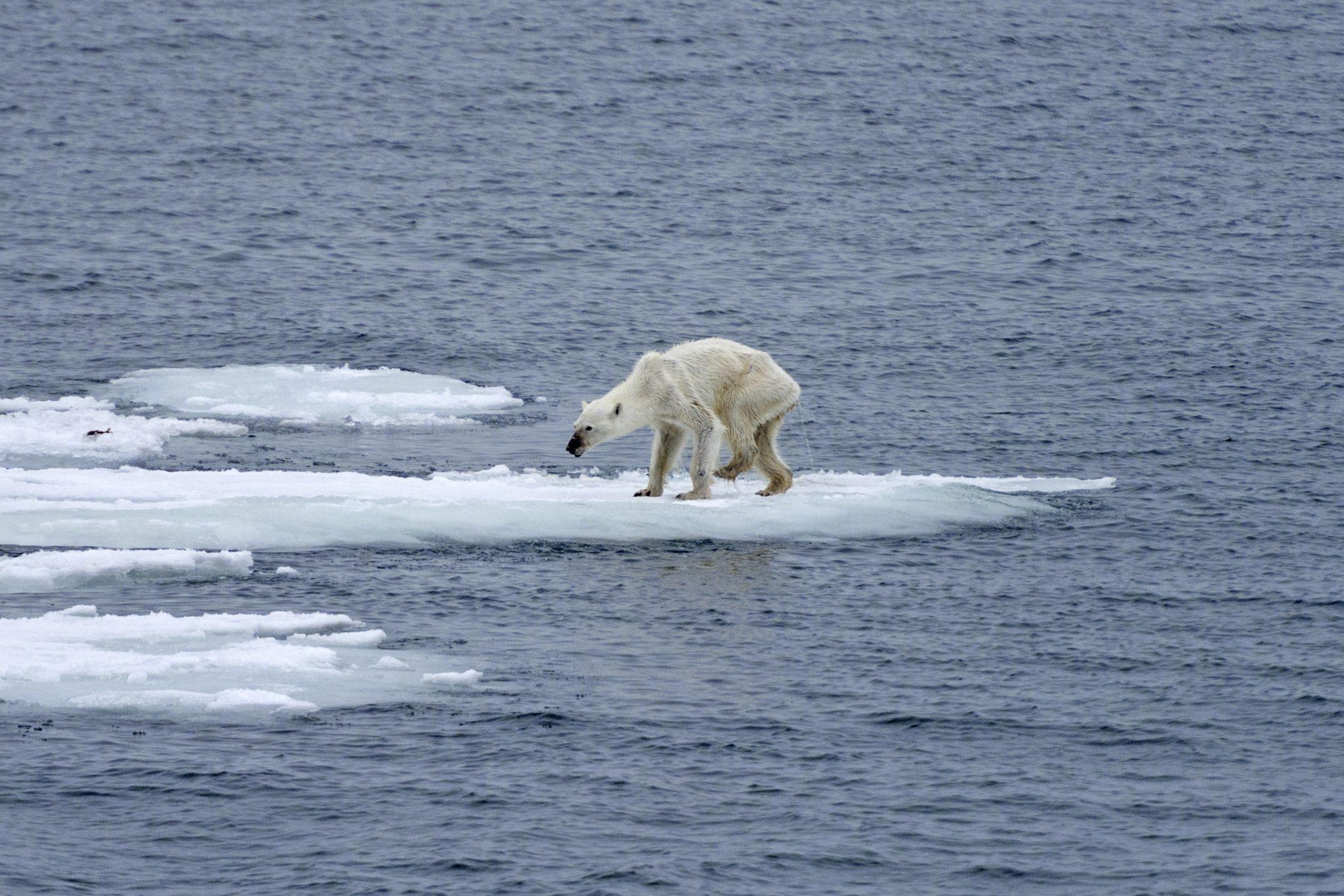 Ohne Eis müssen die Eisbären verhungern. © Kerstin Langenberger