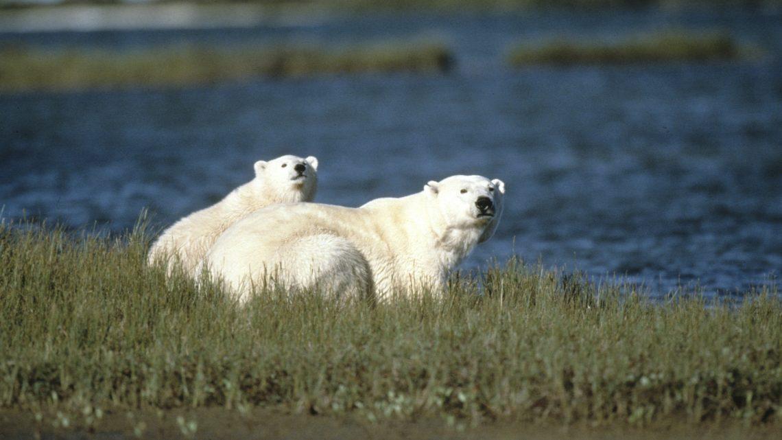 Eisbären in der Wiese ohne Eis © Howard Buffet / WWF