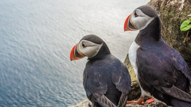 Zwei Papageitaucher schauen aufs Wasser: Durch Öl- und Gasbohrungen ist ihre Heimat, die Lofoten-Inseln in Norwegen, bedroht.