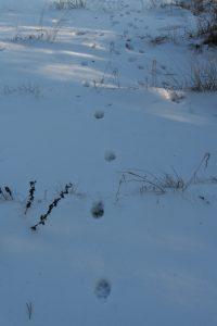 Hund oder Fuchs? Schnurgerade Spuren im Schnee