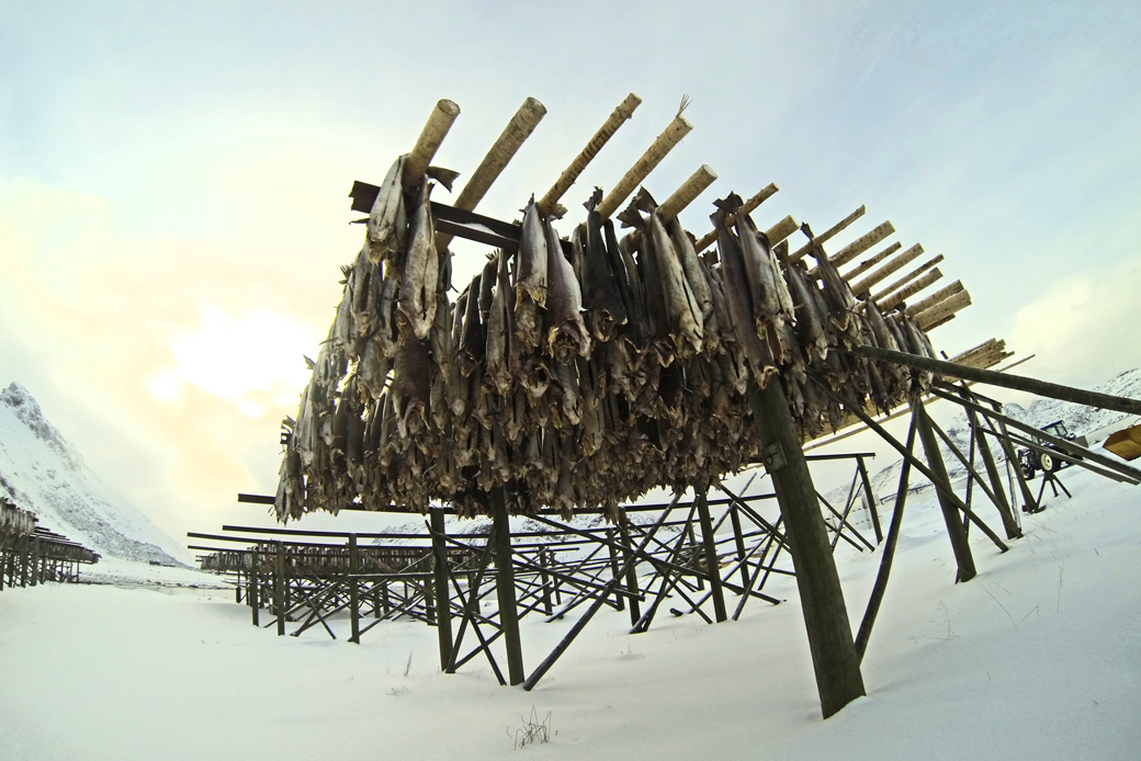 Stockfisch, eine Spezialität der Lofoten in Norwegen. Einzigartiges Naturparadies durch Öl- und Gasbohrungen in Gefahr.