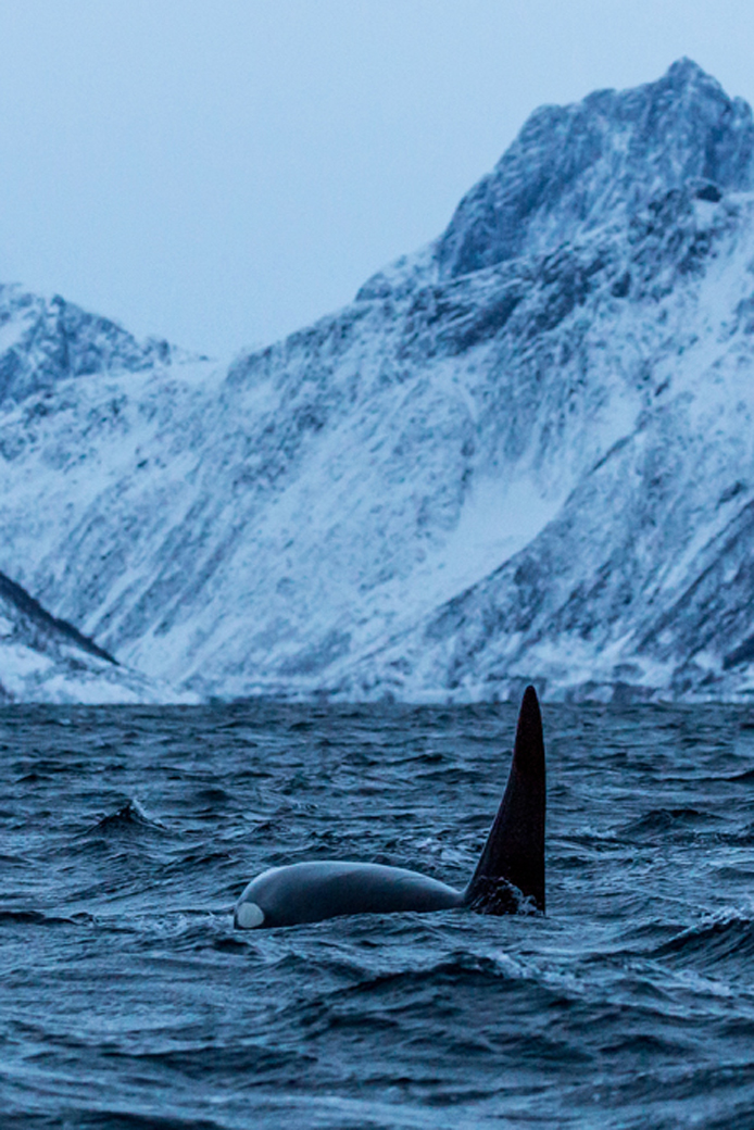 Wal vor der Küste der Lofoten in Norwegen: Einzigartiges Naturparadies durch Öl- und Gasbohrungen in Gefahr.